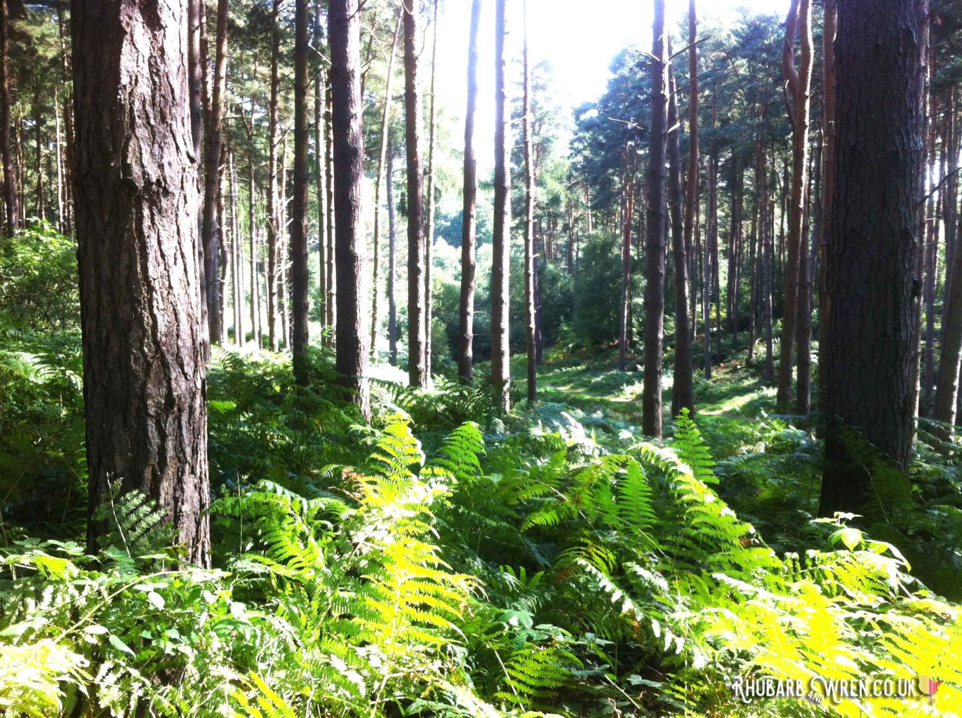 Forest of pine trees with ferns growing around them.